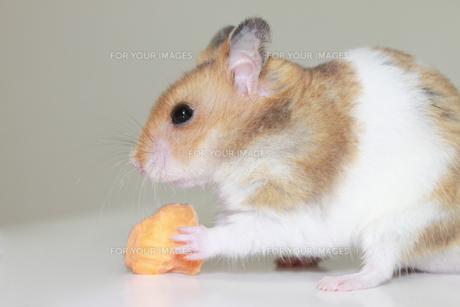 にんじんを食べるゴールデンハムスターの写真素材 [FYI00061952]