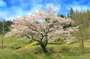 桜の写真素材 [FYI00061997]