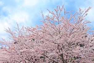 桜と空の写真素材 [FYI00062003]