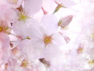 桜の花の写真素材 [FYI00062480]
