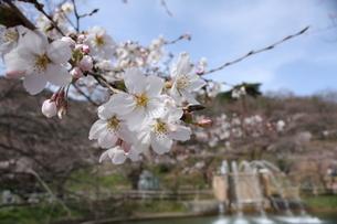 桜サクラさくらの写真素材 [FYI00065545]