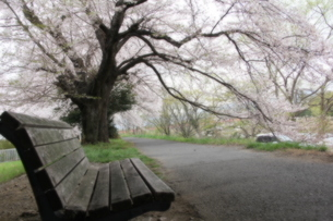 桜の写真素材 [FYI00065555]