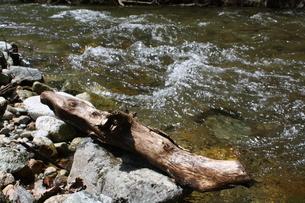清流と流木の写真素材 [FYI00065575]