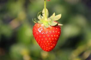 イチゴの写真素材 [FYI00065913]