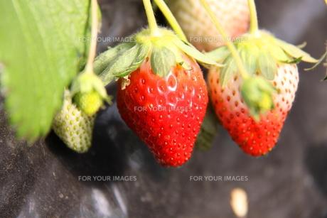 イチゴの写真素材 [FYI00065921]