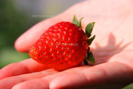 イチゴの写真素材 [FYI00065928]