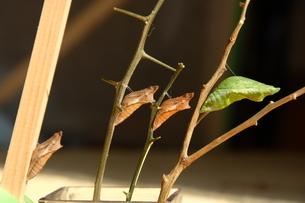 アゲハの蛹とナガサキアゲハの蛹の写真素材 [FYI00065951]