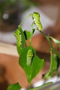 ナミアゲハの幼虫3匹の写真素材 [FYI00065977]