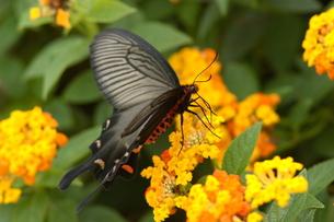 ランタナで吸蜜するジャコウアゲハの写真素材 [FYI00066287]