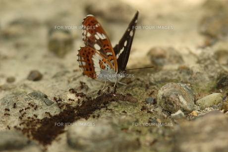 イチモンジチョウとミミズの死骸に群がるアリの写真素材 [FYI00066319]
