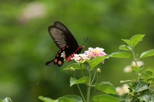 ランタナで吸蜜するベニモンアゲハの写真素材 [FYI00066327]