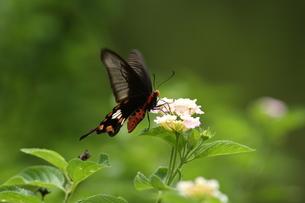 ランタナで吸蜜するベニモンアゲハの写真素材 [FYI00066328]