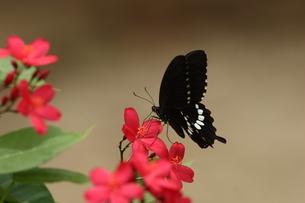 吸蜜するシロオビアゲハの写真素材 [FYI00066329]