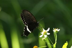 吸蜜するシロオビアゲハの写真素材 [FYI00066337]