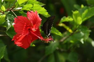 ハイビスカスで吸蜜するシロオビアゲハの写真素材 [FYI00066339]