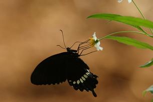 吸蜜するシロオビアゲハの写真素材 [FYI00066347]