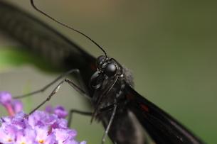 ナガサキアゲハのメスの写真素材 [FYI00066376]