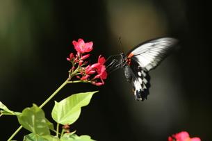吸蜜するナガサキアゲハのメスの写真素材 [FYI00066384]