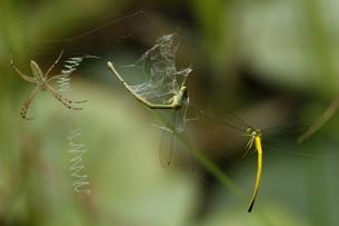 ナガコガネグモの巣に捕まったキイトトンボのつがいの写真素材 [FYI00066552]