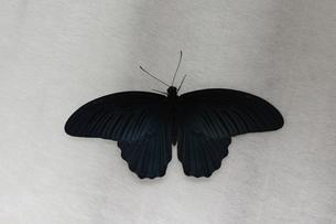ナガサキアゲハのオスの写真素材 [FYI00066610]