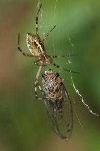 蜘蛛に捕まったツクツクボウシの写真素材 [FYI00066686]