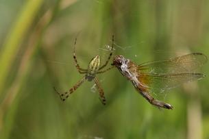 ナガコガネグモに捕まったショウジョウトンボの写真素材 [FYI00066692]