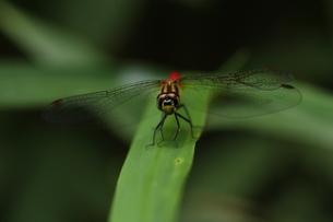 マユタテアカネのオスの写真素材 [FYI00066722]