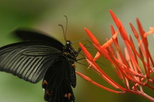 吸蜜するクロアゲハの写真素材 [FYI00066865]