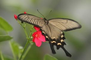 ジャコウアゲハのメスの写真素材 [FYI00066879]