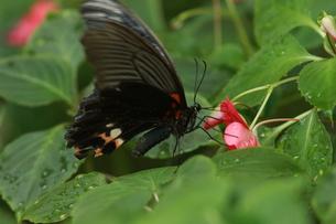 吸蜜するナガサキアゲハのメスの写真素材 [FYI00066921]