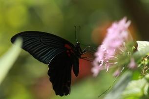 吸蜜するナガサキアゲハのオスの写真素材 [FYI00066930]