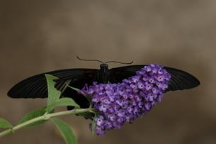 ブッドレアにとまるナガサキアゲハのメスの写真素材 [FYI00067065]