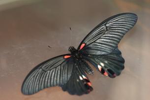 ナガサキアゲハのメスの写真素材 [FYI00067081]