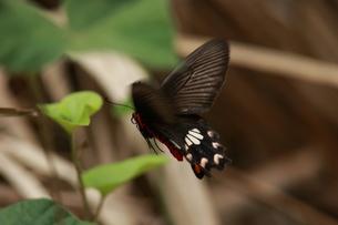 飛翔するベニモンアゲハの写真素材 [FYI00067119]