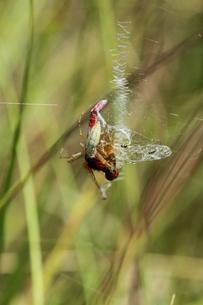 ナガコガネグモに捕まったハッチョウトンボ♂の写真素材 [FYI00067618]