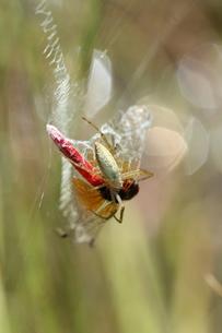 ナガコガネグモに捕まったハッチョウトンボ♂の写真素材 [FYI00067624]