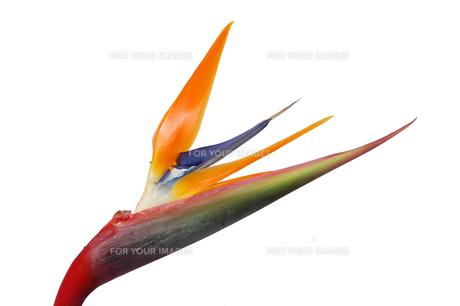 極楽鳥花、横構図の写真素材 [FYI00068268]