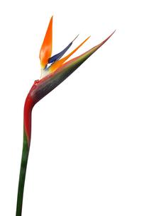 極楽鳥花の写真素材 [FYI00068283]