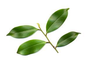 サカキの葉の写真素材 [FYI00068331]