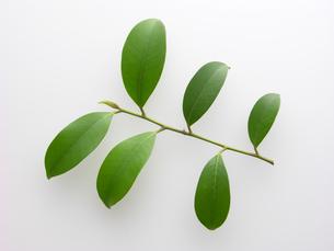 サカキの葉の写真素材 [FYI00068337]