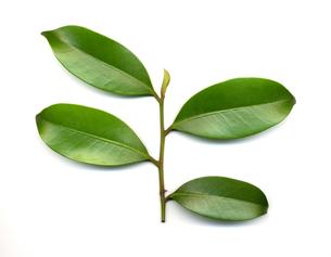 サカキの葉の写真素材 [FYI00068338]