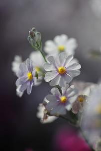 白い桜草の写真素材 [FYI00069199]