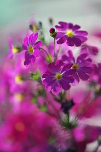 ピンクの桜草の写真素材 [FYI00069206]