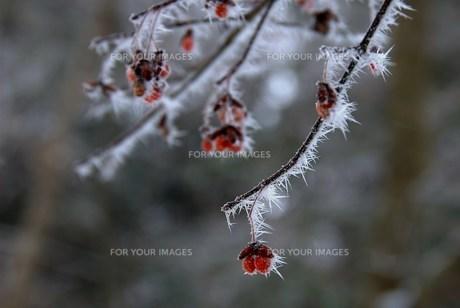 凍てた赤い実の素材 [FYI00069231]