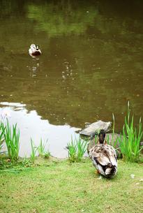 見つめ合う鴨の写真素材 [FYI00069406]