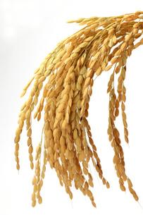 稲の写真素材 [FYI00069550]