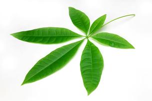 パキラの葉の写真素材 [FYI00069824]