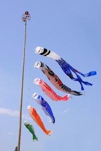 鯉のぼりの写真素材 [FYI00069872]