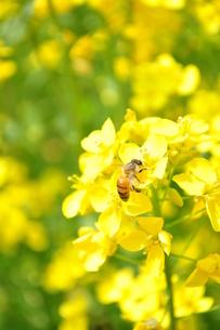 菜の花に停まる蜂の写真素材 [FYI00073296]