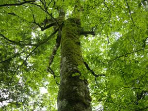 ブナ原生林の写真素材 [FYI00073333]